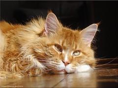Träumer - Dreamer (Jorbasa) Tags: jorbasa hessen wetterau germany deutschland kater cat katze tomcat träumer dreamer oscar mainecoon animal tier haustier pet