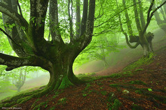 The guardian of the forest (Hector Prada) Tags: forest fog moss mist mood roots leaves spring enchanted creepy magic woods bosque niebla musgo primavera hojas encantado mágico naturaleza nature árbol raices euskalherria basquecountry paísvasco