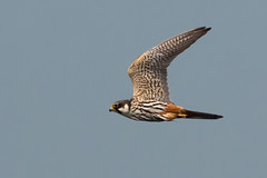 Hobby May 2018 (jgsnow) Tags: bird raptor falcon hobby