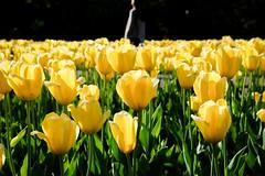Yellow Tulips 5/8/18 #bostonpublicgardens #flowers (Sharon Mollerus) Tags: boston massachusetts unitedstates us cfptig18