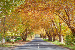 Tunnel To Wentworth Falls Lake || BLUE MOUNTAINS || NSW (rhyspope) Tags: australia aussie nsw new south wales canon 5d mkii autumn fall foliage road street avenue trees nature yellow wentworth falls blue mountains bluemountains amazing travel tourist holiday roadtrip
