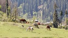 Lazily grazing horses (Nagarjun) Tags: flowers spring kashmir srinagar pahalgam tulips colour macro jk