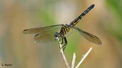 Hanging On (Suzanham) Tags: macro insect dragonfly bug mississippi wings odonata bokeh brownskimmer skimmer