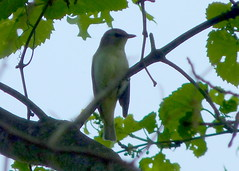 Red-eyed Vireo (Dendroica cerulea) Tags: redeyedvireo vireoolivaceus vireo vireonidae corvoidea passeri passeriformes psittacopasserae eufalconimorphae aves bird spring highlandparkmeadows highlandpark middlesexcounty nj newjersey