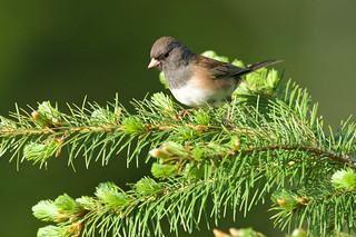 Dark eyed junco, female