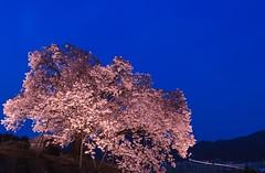 Shade of Sensibility (Anti Meridiem) Tags: tranquil peace love saga kyushu pink night japan tree sakura
