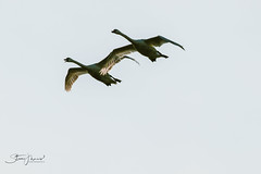 Flyby (Steve Mo) Tags: canon 70d 70300mm birds wildlife geese flight wings sky pair