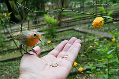 Rouge-gorge familier (Erithacus rubecula) (Ezzo33) Tags: rougegorge familier erithacus rubecula european robin france gironde nouvelleaquitaine bordeaux ezzo33 nammour ezzat sony rx10m3 parc jardin oiseau oiseaux bird birds specanimal