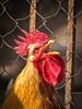 IMG_0087.jpg (StefanosT) Tags: greece canon6d chicken cockerel bird