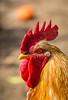 IMG_0117.jpg (StefanosT) Tags: greece canon6d chicken cockerel bird