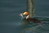 Breakfast (markus_kaeppeli) Tags: ente duck greatcrestedgrebe wasser water fish