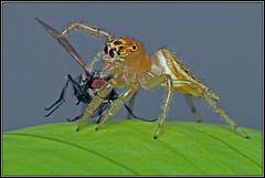 Jumping Spider (GORIGONZALEZ) Tags: jumping spider araña nature naturaleza macro retrato portrait sony a57 raynox dcr250 presa lunch pray fly mosca green verde garden bicho bug