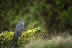 Cuckoo (Benjamin Joseph Andrew) Tags: bird migrant visitor migratory woodland grassland spring perching sitting raining looking wet damp
