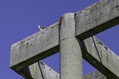 Osprey Lunch (LifeLover4) Tags: chambersbay bird raptor seahawk washington pandionhaliaetus concrete fish blue thirds triangles eagle explore explored osprey geometric interesting interestingness hughstickney stickneydesign