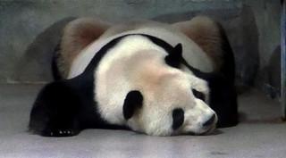 Tian Tian asleep 2017-05-10 at 12.04 PM