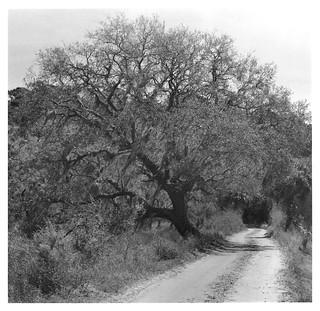 Live Oak by Jason Lake 8x8 print