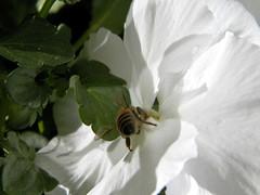 100_7453 (Cassiopée2010) Tags: cévennes nature fleur insecte abeille