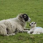 Spring Lambs thumbnail