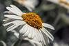 Marokkanisches Gänseblümchen | Moroccan Daisy (*Photofreaks*) Tags: rhodanthemum hybrida casablanca daisy daisies marokkanisches margerite moroccan makro macro closeup nahaufnahme gänseblümchen adengs wwwphotofreakseu