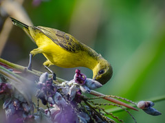 Olive-backed sunbird looking for nectar in water canna flowers (Robert-Ang) Tags: bird animal wildlife nature watercanna flowers sunbird olivebackedsunbird animalplanet jurongecogarden singapore feeding nectar