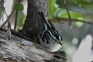 _DSC7496 (2) Black - And - White Warbler Lantana Preserve Palm Beach County Florida USA