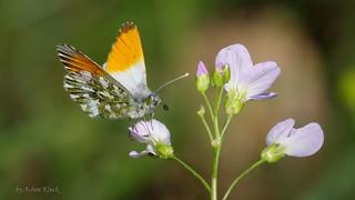 Männlicher Aurorafalter (Anthocharis cardamines) auf Wiesen-Schaumkraut (Cardamine pratensis)