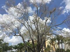Swietenia mahagoni deciduous (scott.zona) Tags: meliaceae