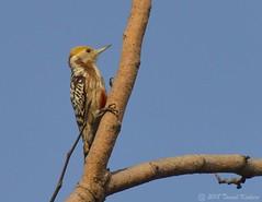 Yellow Crowned Woodpecker (Leiopicus mahrattensis) ( (Tamal Kishore Acharya) Tags: woodpecker yellow crown bird birds birdphotography birding birdsinthewild birdshare birdid