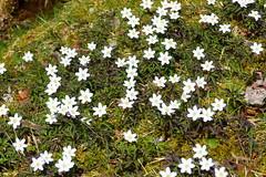 Buschwindröschen (ivlys) Tags: schwarzwald blackforest schluchsee see lake blumen flowers buschwindröschen woodanemone wiese meadow gras grass natur nature ivlys