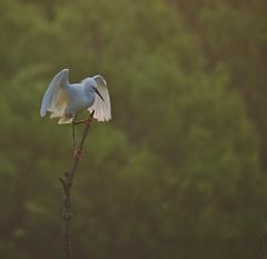 Snowy Perch (heric09) Tags: egret snowy bird nature wildlife