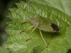 _IMG1347 Green Shieldbug (Pete.L .Hawkins Photography) Tags: petehawkins petelhawkinsphotography petelhawkins petehawkinsphotography pentax 100mm macro pentaxpictures pentaxk1 fantasticnature fabulousnature incrediblenature naturephoto wildlifephoto wildlifephotographer naturesfinest unusualcreature naturewatcher insect invertebrate bug 6legs compound eyes creepy crawly uglybug bugeyes fly wings eye veins flyingbug flying