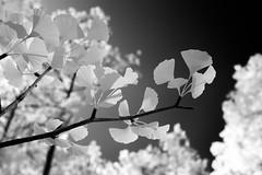 Ginko Infrared (Neal3K) Tags: transparent leaf ginko ir infraredcamera kolarivisionmodifiedcamera henrycountyga georgia bw blackandwhite
