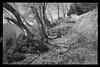 Centovalli trees (Toni_V) Tags: m2407330 rangefinder digitalrangefinder messsucher leicam leica mp typ240 type240 28mm elmaritm12828asph hiking wanderung randonnée escursione centovalli tessin ticino switzerland schweiz suisse svizzera svizra europe bw blackwhite monochrome analogefexpro2 niksoftware trail wanderweg sentiero ©toniv 2018 180421