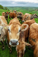 Jersey Girls (lee dawe photography) Tags: animal beef farming jersey livestock cattle cow agriculture farm cows leedawephotography