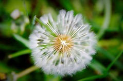 Looking within (Sundornvic) Tags: dandelion plants spring weeds wildlife nature seeds wind blown clocks