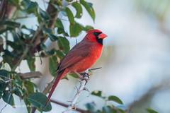 Northern Cardinal 500_8489.jpg (Mobile Lynn) Tags: birds nature northerncardinal bird cardinaliscardinalis fauna wildlife islamorada florida unitedstates us