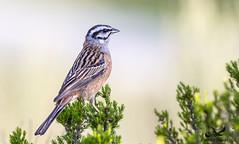 Emberiza cia (carlospinkybrain) Tags: escrevedeiradegargantacinzenta emberiza cia canon 1d mark iv 400mm f56lusm with life photografy aves bird watching