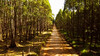 Plantação de eucalipto!!! (VasconcelloSilva) Tags: eucalipto offroad estradadeterra votorantim drone phantom phantom3 dji hobby hobbyphoto rodrigovasconcellossilvarvs nat natureza nature atravésdomeuolhar olharsobreanatureza landscape