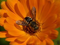 je me regale ! (tom02624) Tags: macro abeille fleur makro макро ماكرو макрас