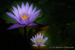 Double Trouble (Les Greenwood Photography) Tags: flowers lily lillies water garden blue white sunburst double