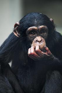 Young chimpanzee sitting