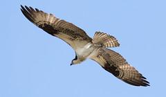 River Hawk (carloe645) Tags: wildlife nature bird flight canon 6d tamron hawk buteojamaicensis birdofprey pandionhaliaetus osprey