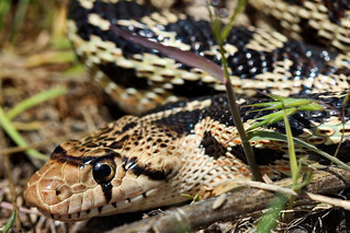 Great basin gopher snake (Pituophis catenifer deserticola)