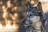 Sled Dog (lgflickr1) Tags: d750 denali alaska animalplanet bokeh eye nikon nature nopeople animal outdoor portrait peaceful travel exterior fur light shade k9 sleddog traildog mansbestfriend canine