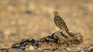 Rotkehlpieper (Red-throated pipit)
