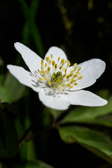 Wood anemone (mellting) Tags: eskilstuna nikond500 platser vilsta bloggad extensiontube flickr instagram matsellting mellting nikkor5018 nikon sverige sweden anemonenemorosa anemone woodanemone vitsippa flower plant