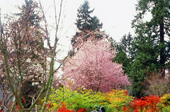 3.24.18 Evergreen Washelli Pentax E6 R1 E04 (Jcicely) Tags: 2018 branches c41film cemetery flowers march pentax35mm seattle