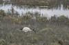 """ormai considerati """" invasivi """" (stefanorasicaldogno) Tags: laguna di chioggia ibis sacro"""
