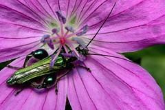Oedemera nobilis m - 09 V 2018 (el.gritche) Tags: oedemera nobilis coleoptera france 40 garden geraniumsanguineum male oedemeridae