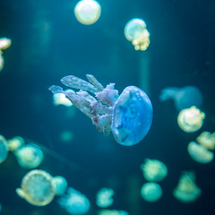 Jellyfish (grumpyRobin) Tags: jellyfish aquarium